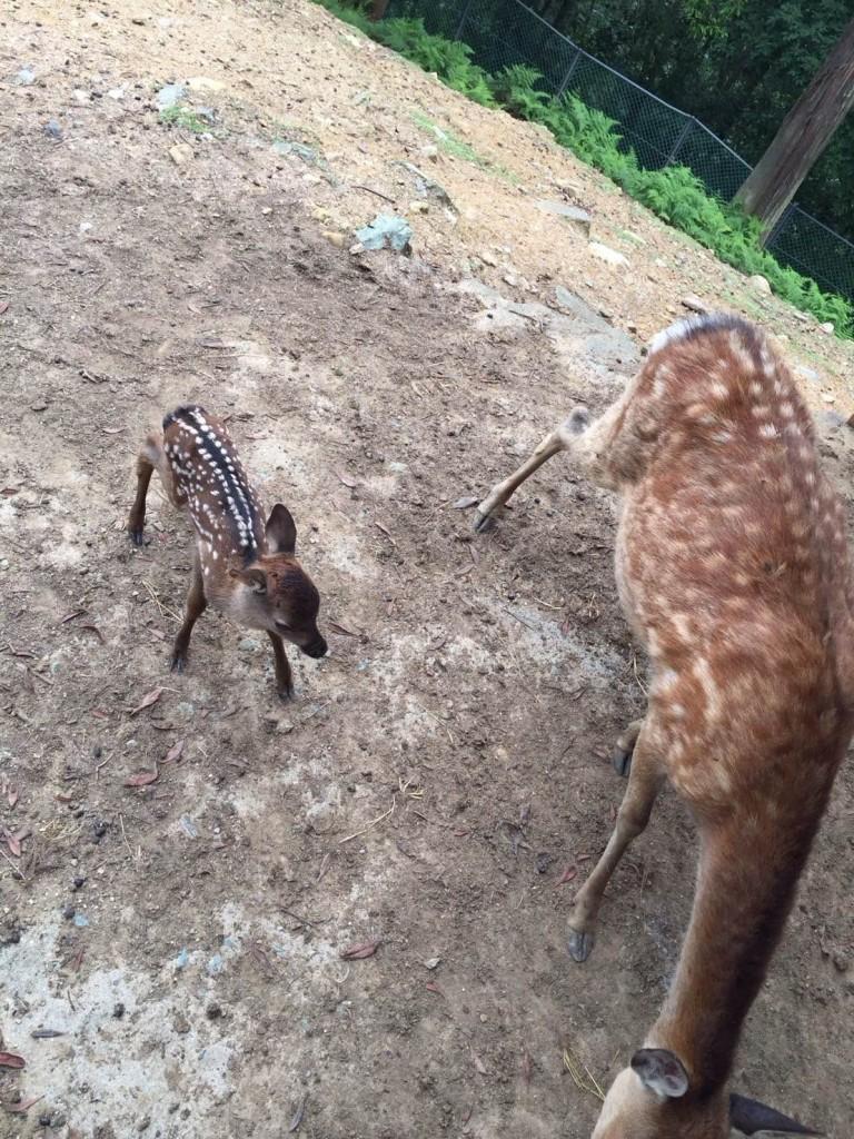 H28小鹿誕生 (2)